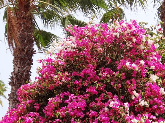 Blumen Palmen Fuerteventura